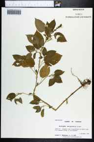 Acalypha ostryifolia herbarium specimen from Tallahassee, Leon County in 1996 by Prof. Loran C Anderson.