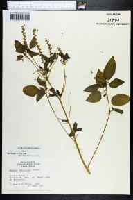 Acalypha ostryifolia herbarium specimen from Clearwater, Pinellas County in 1972 by G Fleming.