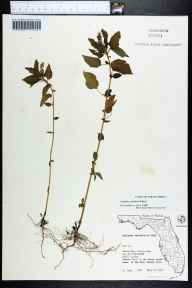 Acalypha ostryifolia herbarium specimen from Mound Key, Lee County in 1974 by S. Todd.