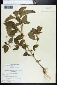 Acalypha ostryifolia herbarium specimen from Chipola River, Jackson County in 1960 by Richard S Mitchell.