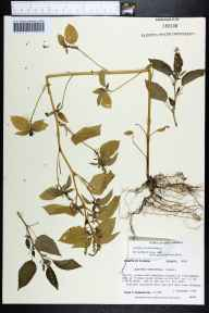 Acalypha ostryifolia herbarium specimen from Bloxham, Wakulla County in 1989 by Prof. Loran C Anderson.