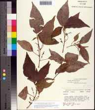 Acalypha amentacea subsp. wilkesiana herbarium specimen from Cocoa Beach, Brevard County in 1982 by John B Nelson.