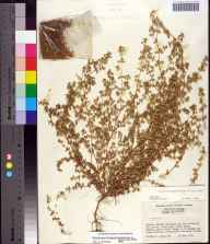 Chamaesyce blodgettii herbarium specimen from Caloosa Experimental Range, Charlotte County in 1956 by William P Adams.