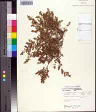Chamaesyce blodgettii herbarium specimen from Beiger Key, Monroe County in 1983 by Robert K Godfrey.