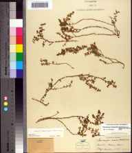 Chamaesyce blodgettii herbarium specimen from Miami, Miami-Dade County in 1935 by Delzie Demaree.