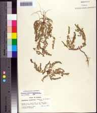 Chamaesyce blodgettii herbarium specimen from Conch Key, Monroe County in 1967 by Sidney McDaniel.