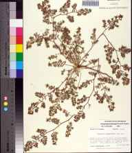 Chamaesyce ammannioides herbarium specimen from Coffeen Nature Preserve, Walton County in 1989 by Prof. Loran C Anderson.