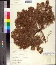Chamaesyce bombensis herbarium specimen from Alligator Point, Franklin County in 1958 by Robert K Godfrey.