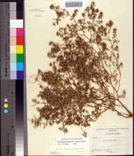 Chamaesyce bombensis herbarium specimen from Mexico Beach, Bay County in 1955 by Robert K Godfrey.