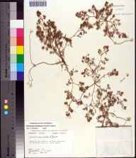 Chamaesyce ammannioides herbarium specimen from Saint George Island, Franklin County in 1971 by Robert K Godfrey.