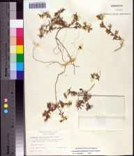 Chamaesyce bombensis herbarium specimen from Venice, Sarasota County in 1964 by Sylvia Taylor.