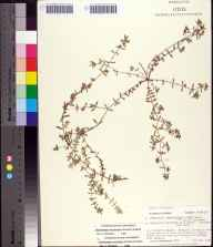 Chamaesyce maculata herbarium specimen from Saint Vincent Island, Franklin County in 1985 by Prof. Loran C Anderson.