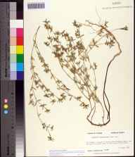 Chamaesyce bombensis herbarium specimen from Dog Island, Franklin County in 1990 by Prof. Loran C Anderson.
