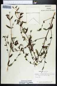 Chamaesyce hypericifolia herbarium specimen from Key Largo, Monroe County in 1969 by Jane Brockmann.