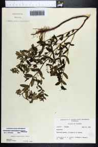 Chamaesyce hypericifolia herbarium specimen from Jerome, Collier County in 1961 by Robert K Godfrey.