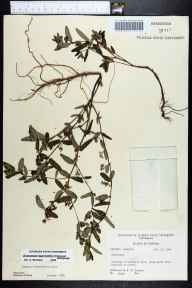 Chamaesyce hypericifolia herbarium specimen from Sarasota County in 1964 by Robert K Godfrey.