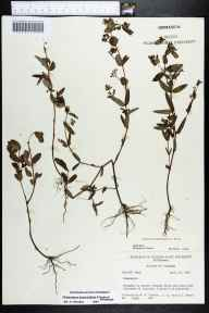 Chamaesyce hypericifolia herbarium specimen from Homestead, Miami-Dade County in 1964 by Derek Burch.
