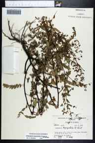 Chamaesyce hyssopifolia herbarium specimen from Cross City, Dixie County in 1969 by Robert K Godfrey.