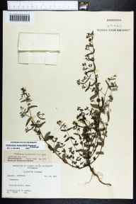 Chamaesyce hyssopifolia herbarium specimen from Lloyd, Jefferson County in 1965 by Robert K Godfrey.