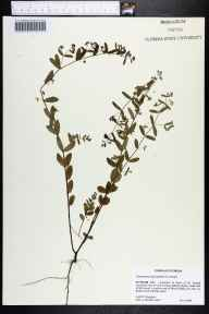 Chamaesyce hyssopifolia herbarium specimen from Saint Joseph Cemetery, Putnam County in 2000 by Cecil R Slaughter.