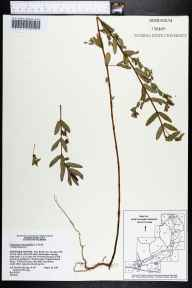 Chamaesyce hyssopifolia herbarium specimen from Fort White, Suwannee County in 1991 by Brenda Herring.