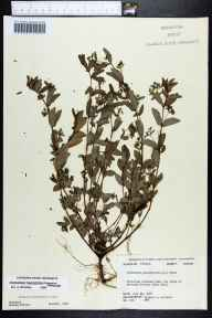 Chamaesyce hyssopifolia herbarium specimen from Marianna Caverns State Park, Jackson County in 1960 by Richard S Mitchell.