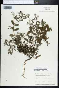 Chamaesyce hyssopifolia herbarium specimen from Ferdinanda Beach, Nassau County in 1975 by Robert K Godfrey.