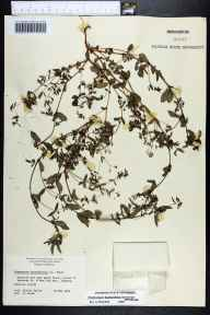 Chamaesyce hyssopifolia herbarium specimen from Dunedin, Pinellas County in 1964 by Sylvia Taylor.