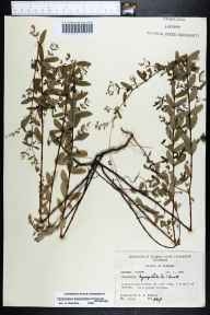 Chamaesyce hyssopifolia herbarium specimen from Melrose, Putnam County in 1969 by Robert K Godfrey.