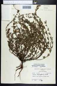 Chamaesyce hyssopifolia herbarium specimen from Crescent Beach, St. Johns County in 1971 by Robert K Godfrey.