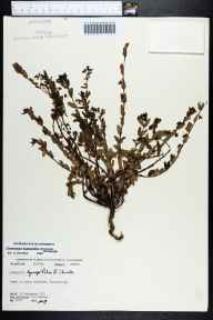 Chamaesyce hyssopifolia herbarium specimen from Rockland Key, Monroe County in 1972 by Robert K Godfrey.