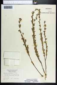 Chamaesyce hyssopifolia herbarium specimen from Chokoloskee, Collier County in 1964 by Derek Burch.