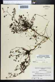 Chamaesyce hyssopifolia herbarium specimen from Venice, Sarasota County in 1956 by Robert Kral.