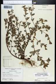Euphorbia hyssopifolia herbarium specimen from Brooksville, Hernando County in 1958 by Robert K Godfrey.