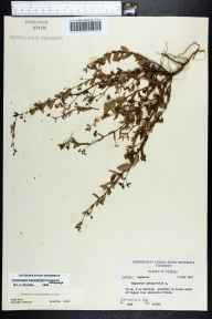 Euphorbia hyssopifolia herbarium specimen from Sanford, Seminole County in 1957 by Robert Kral.