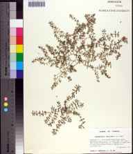 Chamaesyce maculata herbarium specimen from Niceville, Okaloosa County in 1994 by Prof. Loran C Anderson.