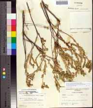 Chamaesyce mesembryanthemifolia herbarium specimen from Jupiter Inlet, Palm Beach County in 1964 by R.F. Christensen.