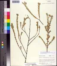 Chamaesyce mesembryanthemifolia herbarium specimen from Keewaydin Island, Collier County in 1990 by Prof. Loran C Anderson.