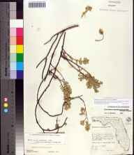 Chamaesyce mesembryanthemifolia herbarium specimen from New Smyrna, Volusia County in 1961 by James D Ray.