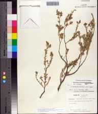 Chamaesyce mesembryanthemifolia herbarium specimen from Key Vacca, Monroe County in 1969 by Jane Brockmann.