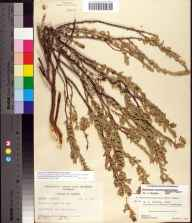 Chamaesyce mesembryanthemifolia herbarium specimen from Port Everglades, Broward County in 1955 by Robert K Godfrey.
