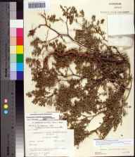 Chamaesyce mesembryanthemifolia herbarium specimen from Longboat Key, Sarasota County in 1964 by Robert K Godfrey.