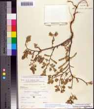 Chamaesyce mesembryanthemifolia herbarium specimen from Naples Beach, Collier County in 1964 by Robert K Godfrey.