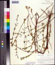 Chamaesyce nutans herbarium specimen from Leon County in 1986 by Prof. Loran C Anderson.