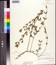 Chamaesyce hyssopifolia herbarium specimen from Apalachee Game Management Area, Jackson County by Gary R Knight.