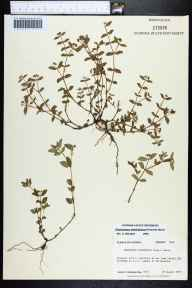 Chamaesyce ophthalmica herbarium specimen from Tallahassee, Leon County in 1985 by Prof. Loran C Anderson.