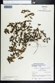 Chamaesyce ophthalmica herbarium specimen from Homestead, Miami-Dade County in 1964 by Derek Burch.