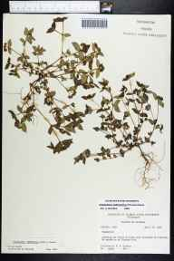 Chamaesyce ophthalmica herbarium specimen from Florida City, Miami-Dade County in 1964 by Robert K Godfrey.