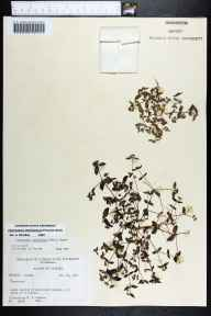 Chamaesyce ophthalmica herbarium specimen from Naples, Collier County in 1964 by Robert K Godfrey.