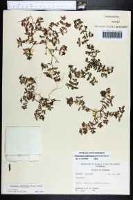 Chamaesyce ophthalmica herbarium specimen from Charlotte County in 1964 by Robert K Godfrey.